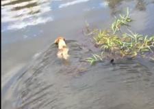 Vídeo: Cachorro é devorado por jacaré em rio do Amazonas