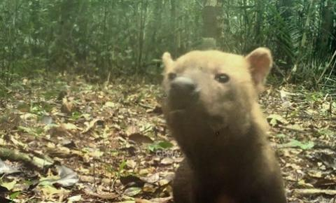Cachorro-vinagre: espécie rara ameaçada de extinção é registrada em Unidade de Conservação do Amazonas