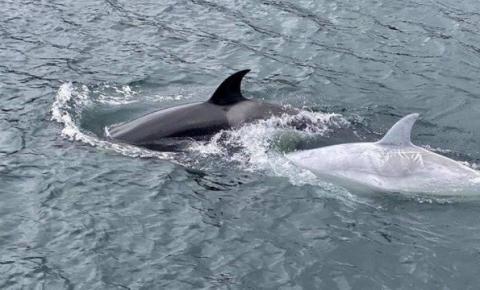 Raríssima orca branca é avistada no Alasca